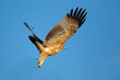 Tawny eagle (Aquila rapax) in flight with open wings against a blue sky, South Africa.