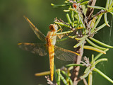 Broad Scarlet dragonfly (Crocothemis erythraea) perched in some bushes, near Almansa, Spain - 249668640