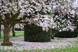 White magnolia large tree branches with flowers in blossom in spring time and petals on green grass
