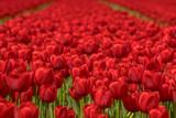 Tulip field scene