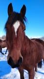 Gros plan brown horse head staring at / Gros plan tête de cheval brun regardant en face