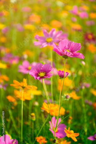 Mexican Aster in the warm sun light. - 249703489