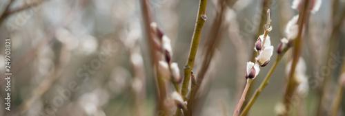 Sal-Weide Kätzchen am Zweig von Weidenkätzchen Baum - 249703821