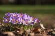Leinwanddruck Bild - frisch blühende Krokusse am Rand einer Parkanlage in der Frühlingssonne