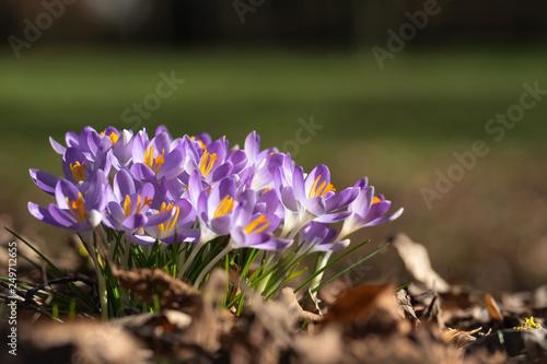Leinwanddruck Bild frisch blühende Krokusse am Rand einer Parkanlage in der Frühlingssonne