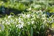 Leinwanddruck Bild - viele Schneeglöckchen im Park unter der ersten Frühlingssonne