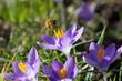 Leinwanddruck Bild - Abeille butinant des fleurs de crocus à la fin de l'hiver