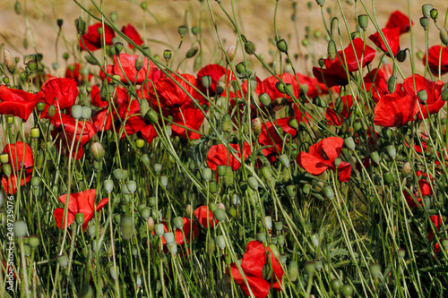 View of wild autumn field with papaver flowers - 249739076