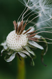 Close up of a dandelion head that has gone to seed