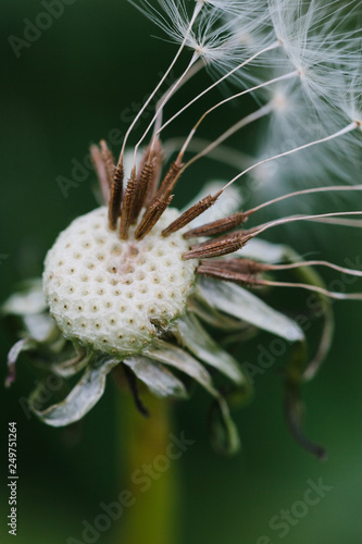 Close up of a dandelion head that has gone to seed - 249751264