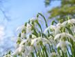 Leinwanddruck Bild - viele Schneeglöckchen unter blauem Himmel läuten den Frühling ein