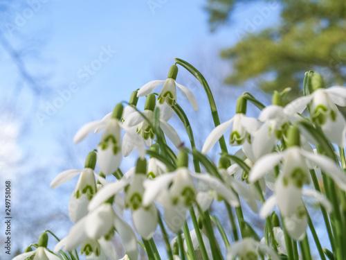 Leinwanddruck Bild viele Schneeglöckchen unter blauem Himmel läuten den Frühling ein