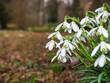 Leinwanddruck Bild - leuchtende Schneeglöckchen am Waldrand  läuten den Frühling ein