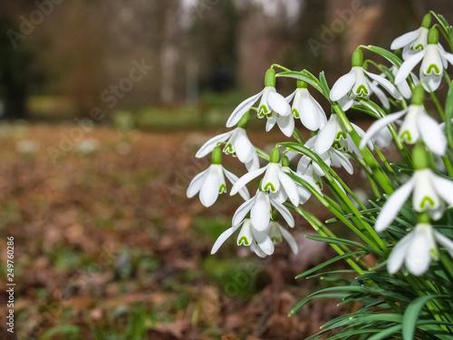 Leinwanddruck Bild leuchtende Schneeglöckchen am Waldrand  läuten den Frühling ein
