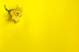 Beautiful yellow lily flower on yellow background. Flower minimal concept. Minimal summer concept. isolated. Beautiful flower for designers. Top view