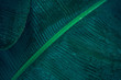Close-up foliage of tropical leaf in dark green with rain water drop texture,  abstract nature background.