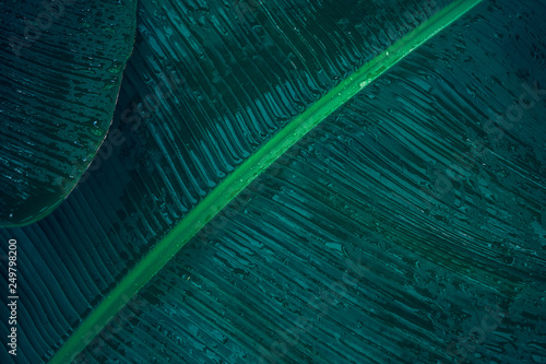 Close-up foliage of tropical leaf in dark green with rain water drop texture,  abstract nature background. © jakkapan