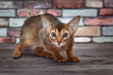 scared Abyssinian  kitten with bristling back