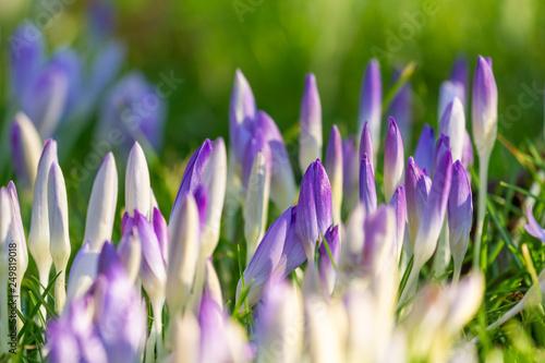 Blühende Krokusse auf grüner Wiese im Frühling. Krokus im Frühling. © Maglido-Photography
