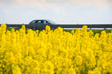 Car drives on a road through a blossom rapeseed field.