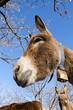 donkey on a meadow in Praglia plateau in Liguria in Italy