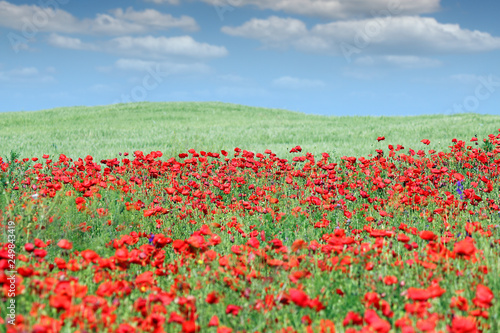 poppies flower meadow and blue sky with clouds countryside landscape - 249843419