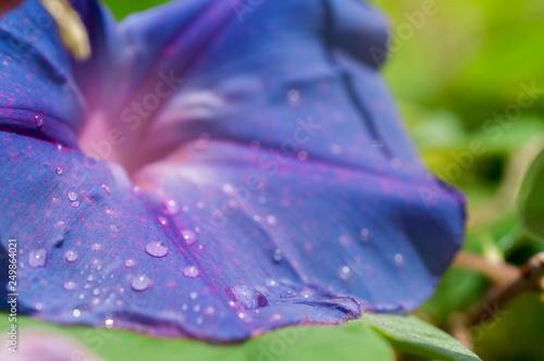 Ipomoea flower - poisonous curling liana - 249864021