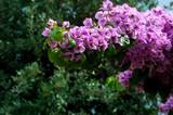 branch blooming azalea