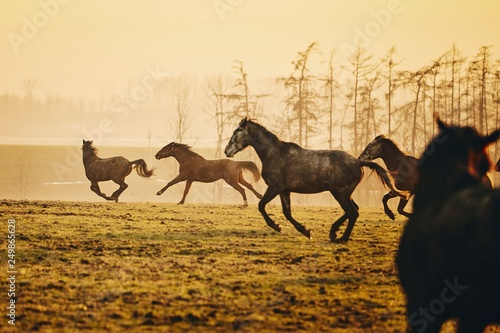 Herd of horses at sunset