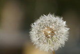 old dandelion on dark background