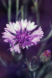 flower of cornflower, violet Centaurea in garden, soft focus