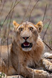 León, Serengueti, Tanzania