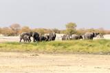 Large group of elephants