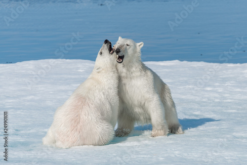 Leinwanddruck Bild Two young wild polar bear cubs playing on pack ice in Arctic sea, north of Svalbard
