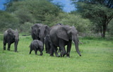 Herd of elephants with mother and babies among the Acacia trees in the Tarangire area of Tanzania, Africa