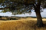 Campo di grano con albero tra le colline