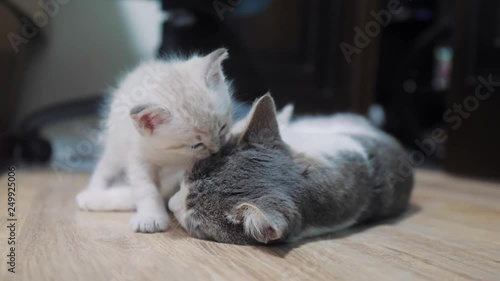 kitten bites mom's cat by the ear. kitten licks a cat . little cute kitten sleeping next to cat mom. cat family care love friendship and understanding. cute pets funny video. little white cute kitten