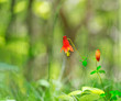 Wild columbine flower with soft focus background