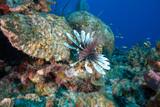 Lionfish (Grand Cayman, BWI) - 249963220