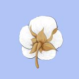 Delicate white cotton flower