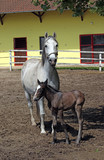 Lipizzaner horse and foal on farm