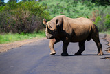 Black Rhinoceros pausing briefly while crossing the road