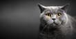 Portrait of British shorthair cat on black.