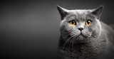 Portrait of British shorthair cat on black.
