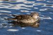 side view swimming female mandarin duck (aix galericulata) in water