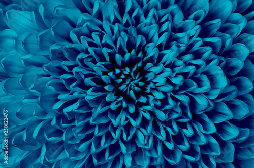 Chrysanthemum cerulean flower closeup. Macro. It can be used in website design and printing. Also good for designers. - 250022476