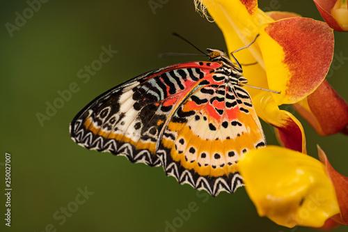 Monarch butterfly (Danaus plexippus) on thunbergia mysorensis, close-up. - 250027007