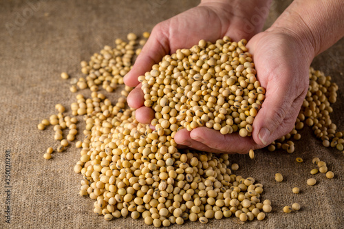 Ripe soy beans in hands - 250028298