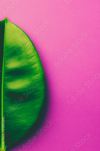 Big fresh ficus leaf on gradient purple violet pink background. Trendy neon colors. Toned. Harsh shadows. Contemporary unique creative image poster streamer design template. Tropical theme - 250032692