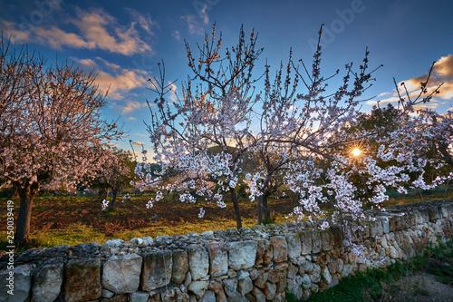 Leinwanddruck Bild Sunrise in Mallorcan countryside with rising sun and almond trees.